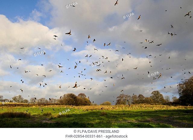 Red Kite (Milvus milvus) flock, in flight, wheeling over feeding station, Gigrin Farm, Rhayader, Powys, Wales, November
