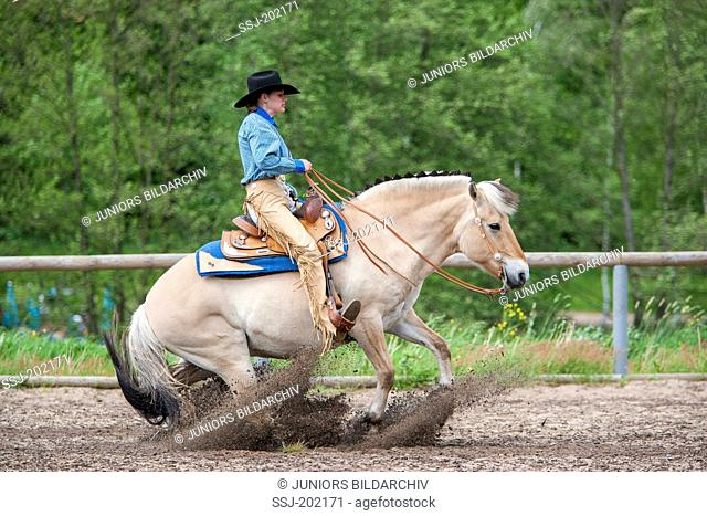 Woman rider on Norwegian Fjord Horse performing a Sliding Stop. Germany