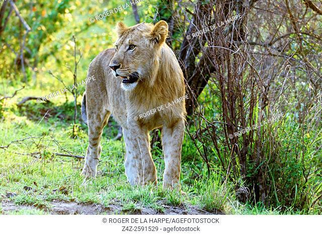 Lion (Panthera leo). Serengeti National Park. Tanzania