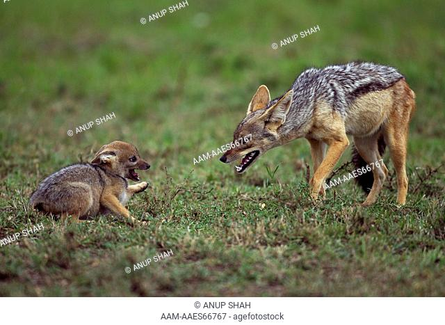 Black-backed jackal with playful pup aged 5 weeks (Canis mesomelas). Maasai Mara National Reserve, Kenya. Aug 2011