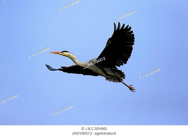 Grey Heron, (Ardea cinerea), adult flying in breeding cloth, Luisenpark Mannheim, Mannheim, Germany, Europe