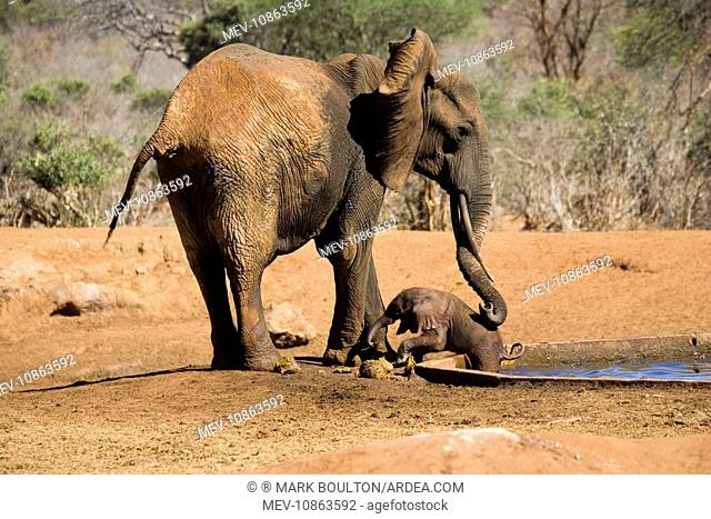African Elephant - female / cow trying to rescue her very young calf which has fallen into a water hole in Ngulia Rhino Sancturay (Loxodonta africana)