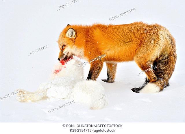 Red fox (Vulpes vulpes), consuming an Arctic Fox (Alopex lagopus) carcass it killed, Wapusk NP, Cape Churchill, Manitoba, Canada