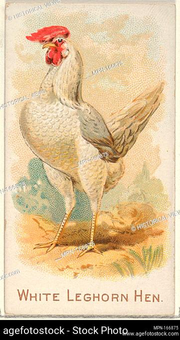 White Leghorn Hen, from the Prize and Game Chickens series (N20) for Allen & Ginter Cigarettes. Publisher: Allen & Ginter (American, Richmond