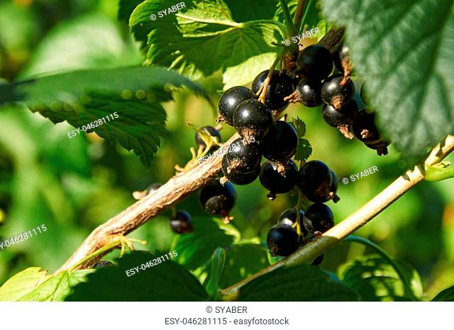 ripe berries of black currant on the bush