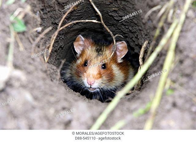 Black-bellied Hamster (Cricetus cricetus). Office National de la Chasse et de la Faune Sauvage ( ONCFS). Elsenheim. Bas-Rhin. Alsace. France