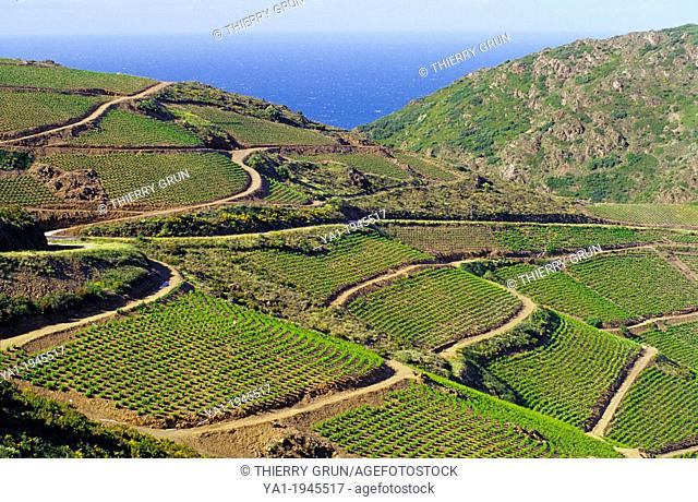 Vineyards of Banyuls sur mer, Cote Vermeille, Eastern Pyrenees, Languedoc-Roussillon, France