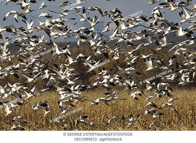 Snow geese flock at cornfield, Bosque del Apache National Wildlife Refuge, New Mexico