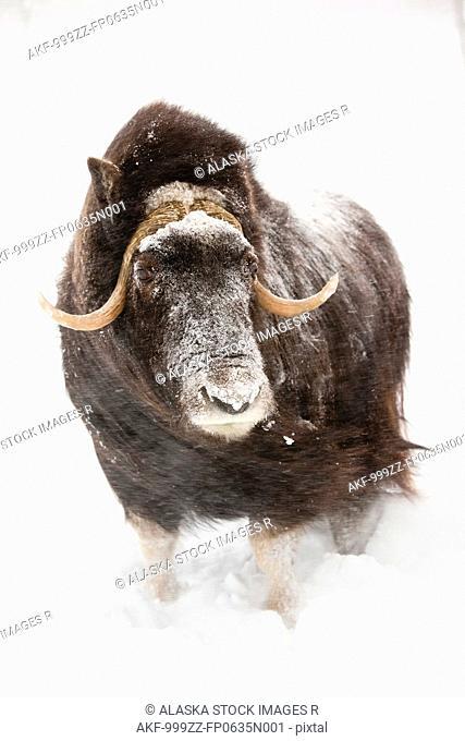 CAPTIVE: Cow muskoxen stands in deep snow during a winter storm, Alaska Wildlife Conservation Center, Southcentral Alaska, Winter