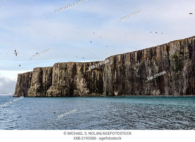 Brünnich's Guillemot, Uria lomvia, breeding colony at Cape Hay, Bylot Island, Nunavut, Canada