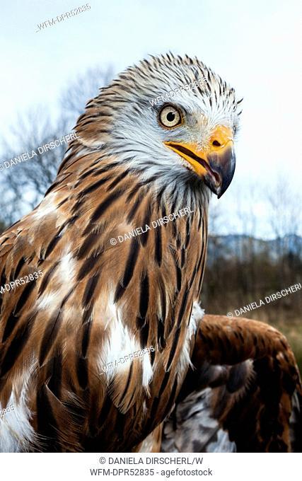 Red Kite, Milvus milvus, Bavaria, Germany