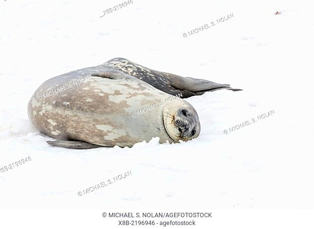 Weddell seal, Leptonychotes weddellii, resting on ice at Half Moon Island, South Shetland Island Group, Antarctica