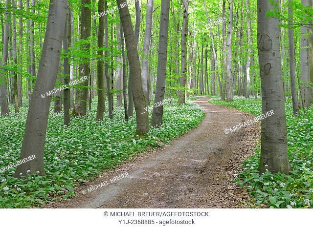 Path Through European Beech Forest (Fagus sylvatica) with Ramson (Allium ursinum), Hainich National Park, Thuringia, Germany, Europe