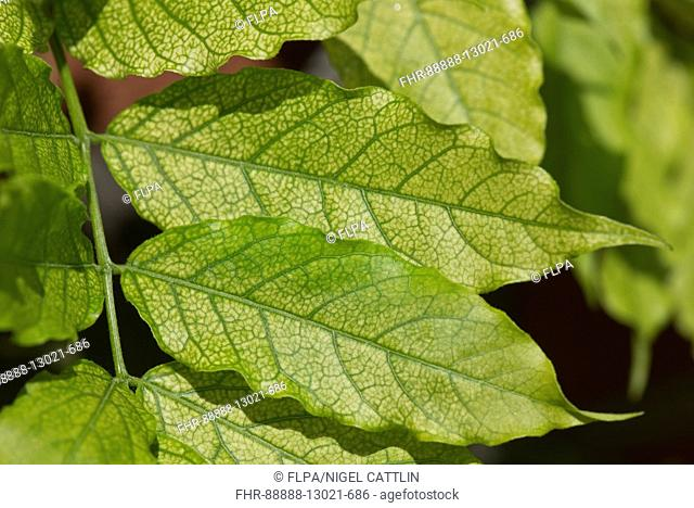 Chlorosis caused by iron deficiency on the leaves of a Wisteria sinensis plant, Berkshire, June