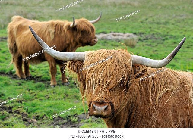 Highland cows Bos taurus on the Isle of Skye, Scotland, UK