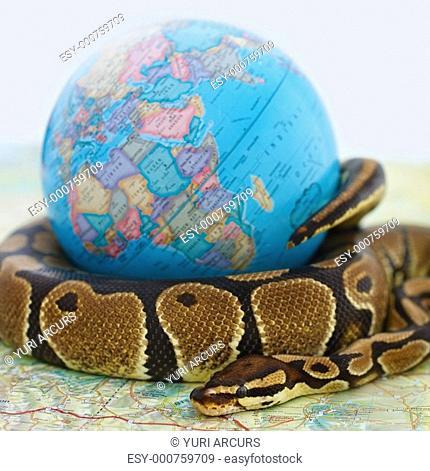 Closeup of a ball python coiled around a globe