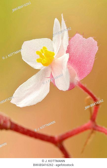 Begonia (Begonia spec.), female flower with ovary