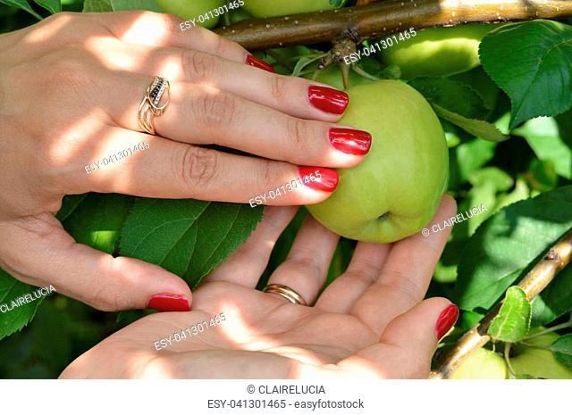 A young girl with a nice manicure picks apples from tree in orchard