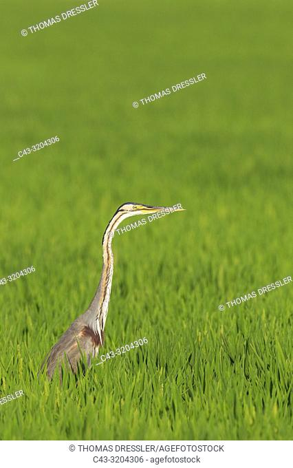 Purple Heron (Ardea purpurea). Hunting in a rice field (Oryza sativa). Environs of the Ebro Delta Nature Reserve, Tarragona province, Catalonia, Spain