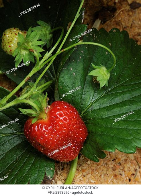 Summer Strawberries growing in Sawdust mulch
