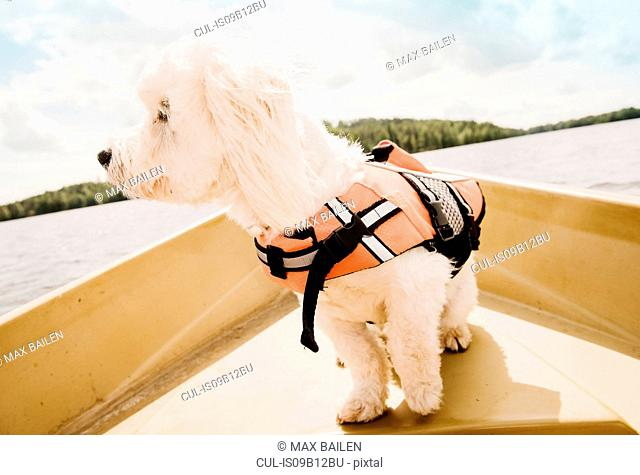 Portrait of cute coton de tulear dog wearing life jacket on boat, Orivesi, Finland
