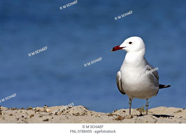 Audouin's Gull Larus audouinii standing on beach