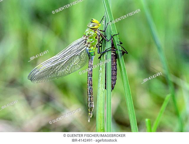 Newly hatched emperor dragonfly or blue emperor (Anax imperator), family Aeshnidae, male, Switzerland