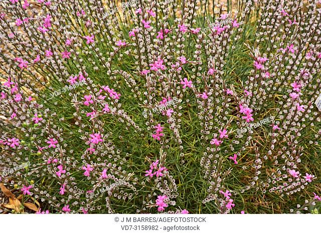 Prickly thrift (Acantholimon armenum) is a cushion-like shrub native to western Asia
