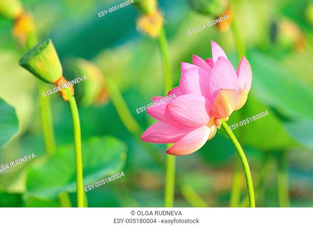 Sacred lotus flower living fossil close up