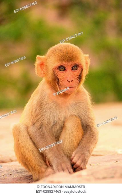 Young Rhesus macaque sitting near Galta Temple in Jaipur, Rajasthan, India