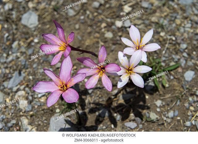 Crocus flowers at Hierve el Agua near Oaxaca, southern Mexico
