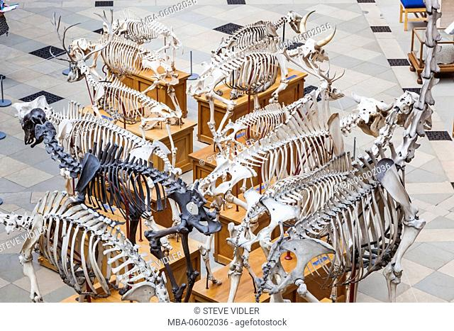 England, Oxfordshire, Oxford, Museum of Natural History, Display of Animal Skeletons