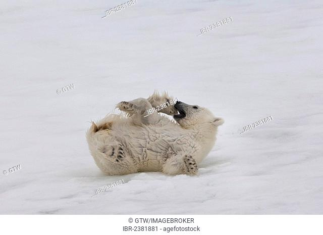 Polar bear cub (Ursus maritimus) lying on the back, Svalbard Archipelago, Barents Sea, Norway, Arctic