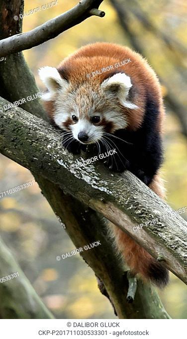 Red panda cub sits in a tree in the zoo Zlin, Czech Republic, November 3, 2017. (CTK Photo/Dalibor Gluck)