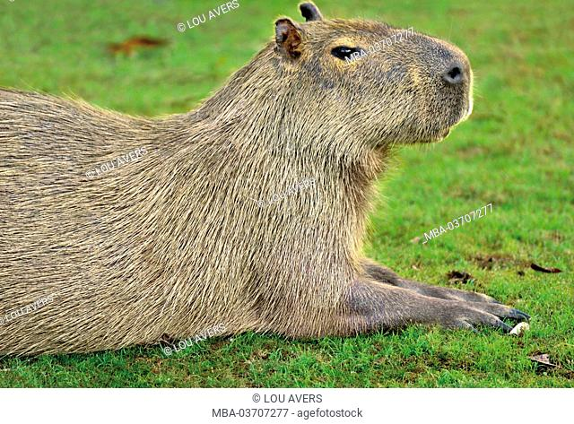 Brazil, Pantanal, water pig, Hydrochoerus hydrochaeris, lying, at the side, medium close-up