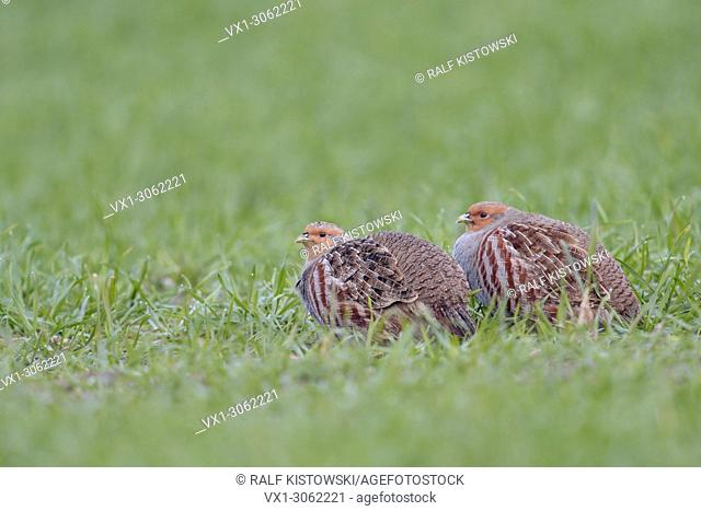 Two Grey Partridges ( Perdix perdix ) sitting in their typical habitat of winter weat, wildlife, Europe