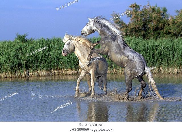 Camargue Horse,Equus caballus,Saintes Marie de la Mer,France,Europe,Camargue,Bouches du Rhone,stallions fighting in water