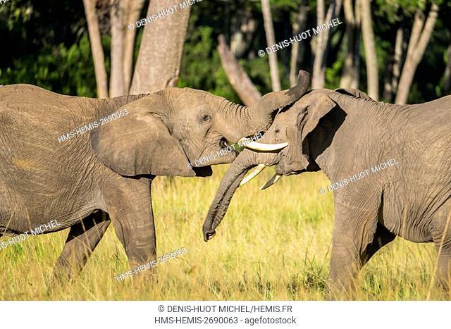 Kenya, Masai-Mara Game Reserve, Elephant (Loxodonta africana), playing to fight in Musiara marsh