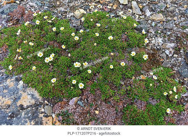 Mountain avens / eightpetal mountain-avens / white dryas / white dryad (Dryas octopetala) flowering in rocky terrain
