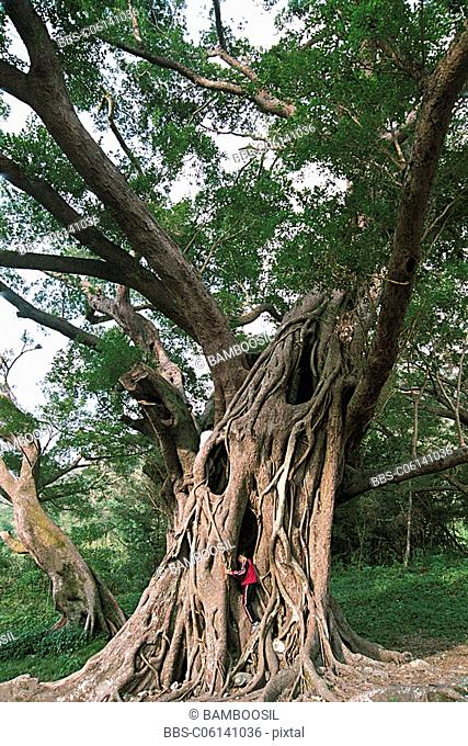 Person climbing banyan fig tree, Yangjiaxi, Xiapu County, Fujian Province of People's Republic of China