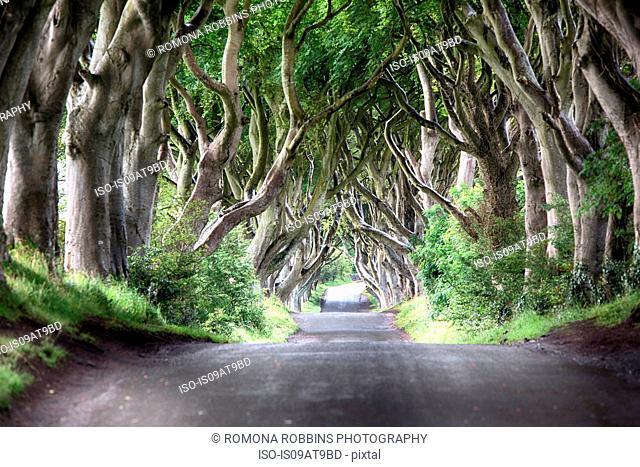 Diminishing perspective of The Dark Hedges - beech tree lined road, Ballymoney, County Antrim, Ireland, UK