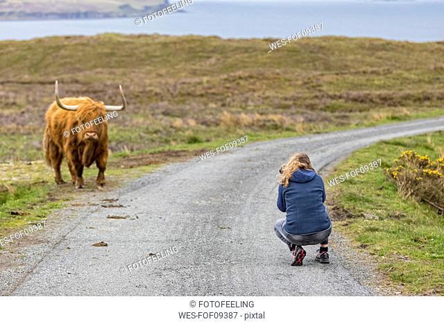 UK, Scotland, Inner Hebrides, Isle of Skye, tourist taking picture of Highland Cattle