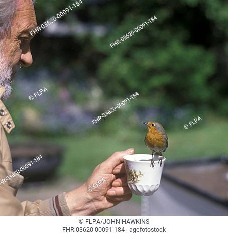 European Robin Erithacus rubecula Perched on edge of cup being held by man