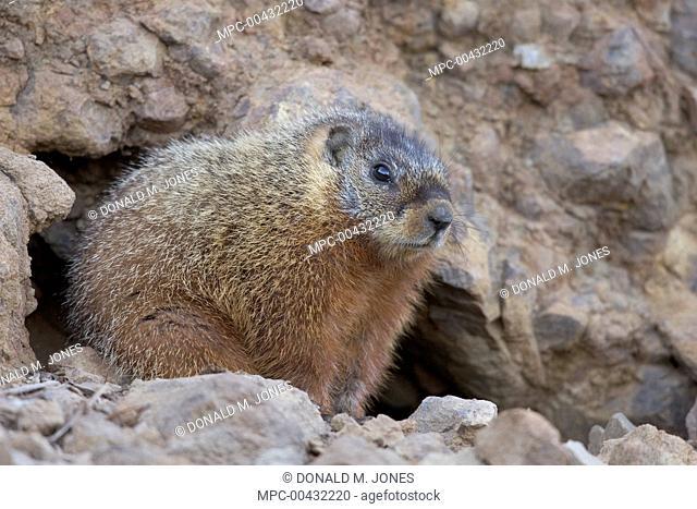 Yellow-bellied Marmot (Marmota flaviventris) at burrow, western Wyoming
