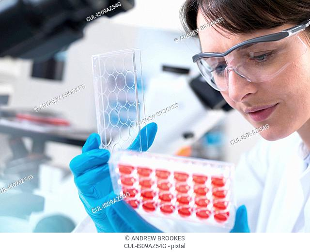 Scientist viewing experimental cultures growing in multiwell tray in laboratory