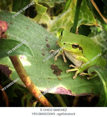 A green frog perches on a leave in Prado del Rey, Sierra de Cadiz, Andalusia, Spain