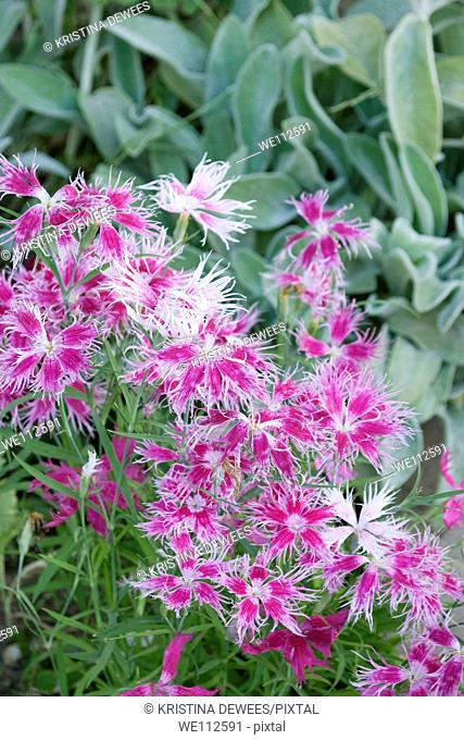 Dianthus Loveliness in full bloom
