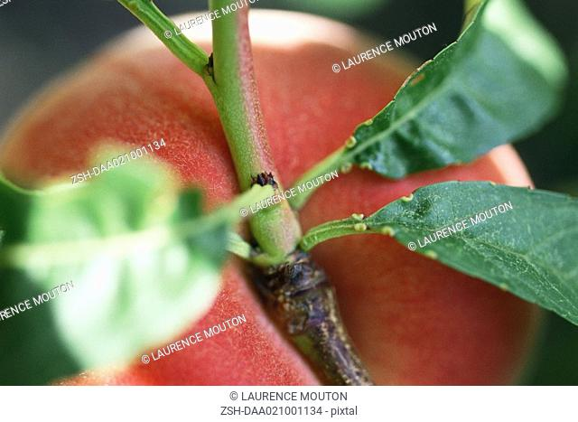 Peach growing on branch, extreme close-up