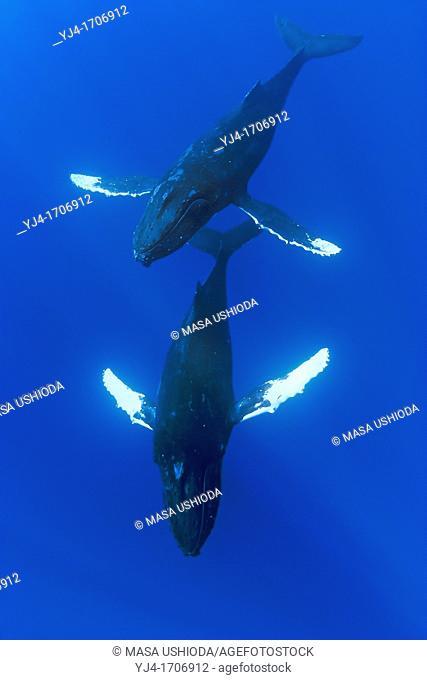 humpback whales, Megaptera novaeangliae, male escorting female underneath, courtship behavior, Hawaii, USA, Pacific Ocean