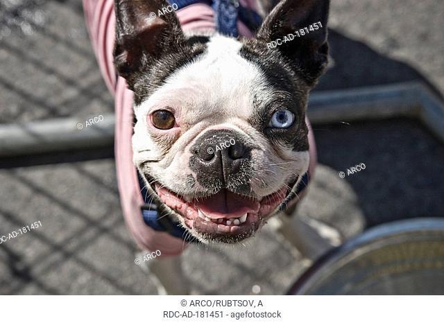 Boston Terrier, odd-eyed